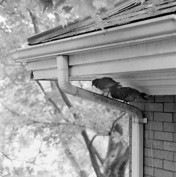 347_51_Pigeons_on_Drainpipe