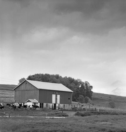 430_032_Cowden_Barn_Cows