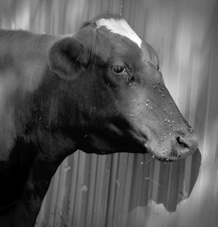 431_074_Cowden_Portrait_of_Cow_with_Flies