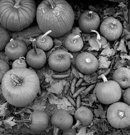 433_077_Cowden_Pumpkins