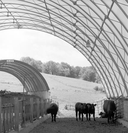 433_134_Locust_Cows_in_Shelter_10x
