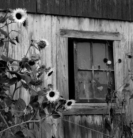 434_009_Cowden_Barn_Window_Sunflowers