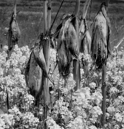 434_042_Cowden_Corn_Husks_in_the_Field