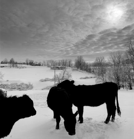 434_162_White_Three_Cows_in_Snow_10x